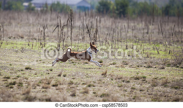 Basenji dogs runs across the field - csp58578503