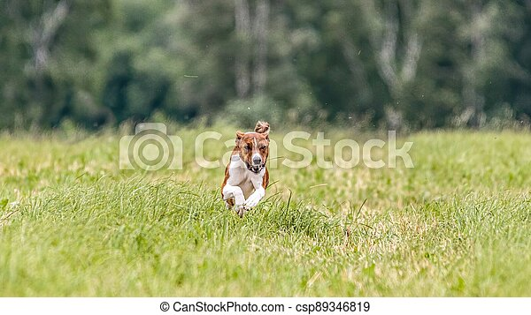 Basenji running in the field on lure coursing competition - csp89346819