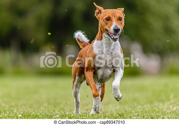 Basenji running in the field on lure coursing competition - csp89347010