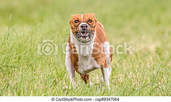 Basenji running in the field on lure coursing competition - csp89347064