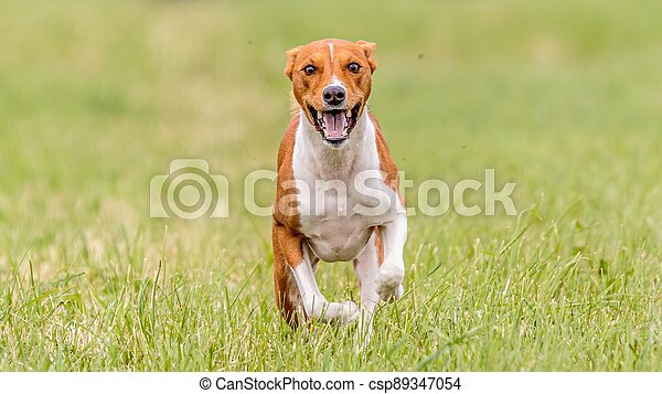 Basenji running in the field on lure coursing competition - csp89347054
