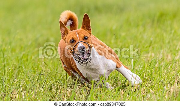 Basenji running in the field on lure coursing competition - csp89347025