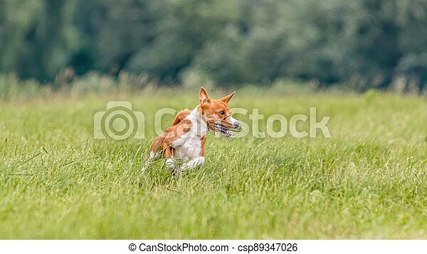 Basenji running in the field on lure coursing competition - csp89347026