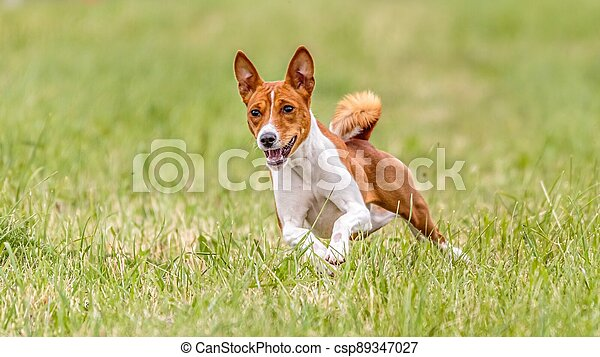 Basenji running in the field on lure coursing competition - csp89347027
