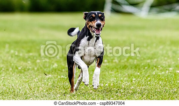 Basenji running in the field on lure coursing competition - csp89347004