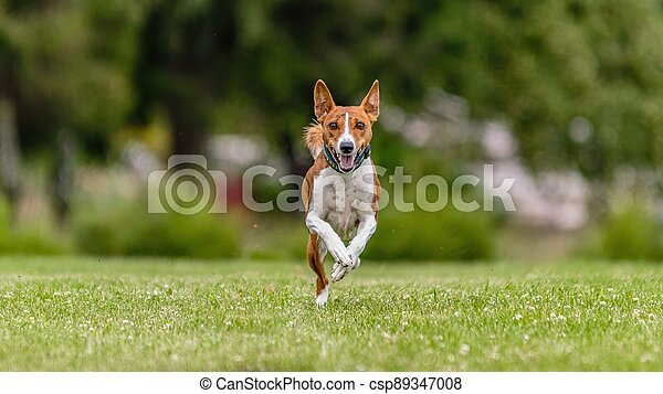Basenji running in the field on lure coursing competition - csp89347008