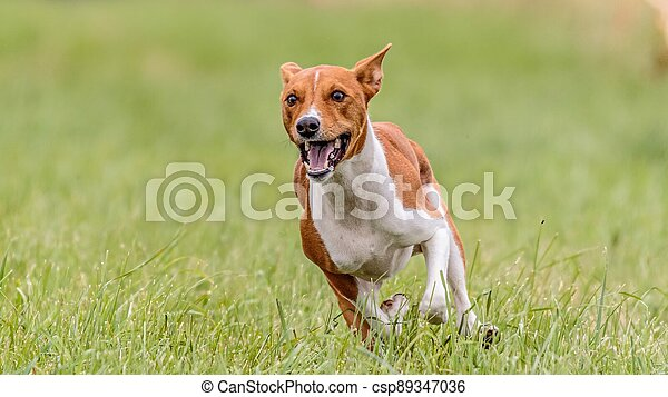 Basenji running in the field on lure coursing competition - csp89347036