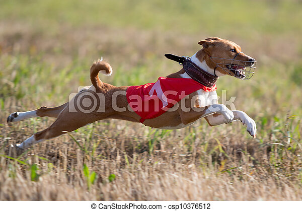 Basenjis dog coursing run in field - csp10376512