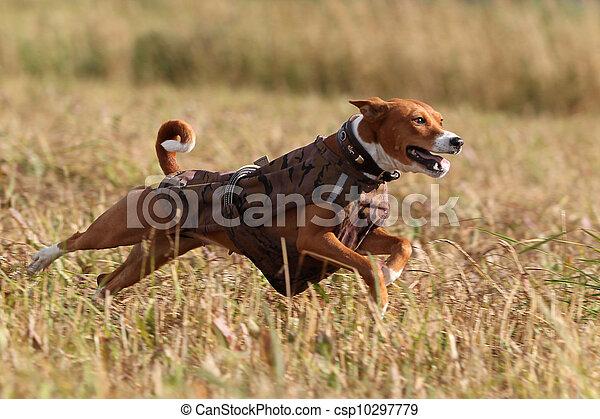 Basenjis dog run in field - csp10297779