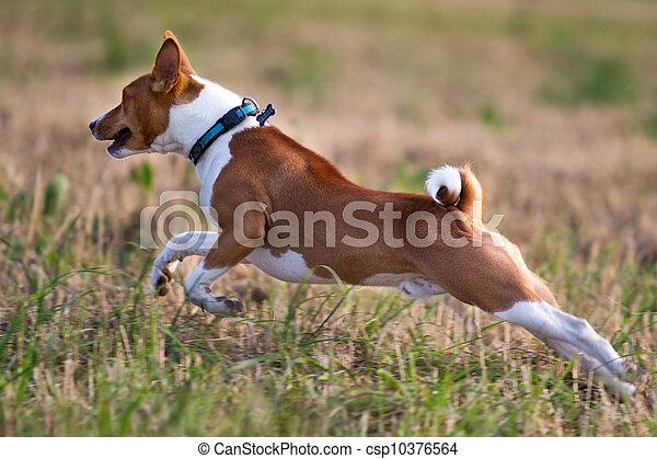 Basenjis dog run in field - csp10376564