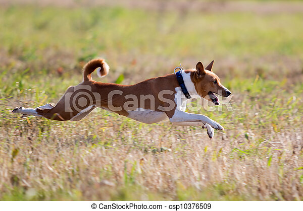 Basenjis dogcoursing run in field - csp10376509