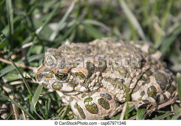 basierend, kröte, fruehjahr, frosch, grass., grün, sitzt - csp67971346