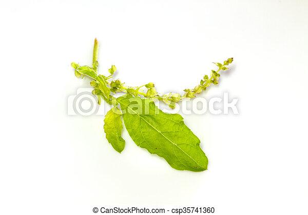 basil leaves on white - csp35741360