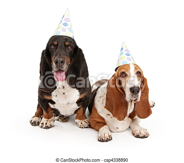 Basset Hound Dogs Wearing Birthday Hats