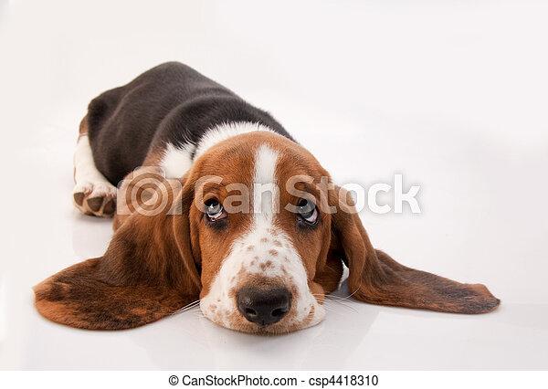 basset, junger hund - csp4418310