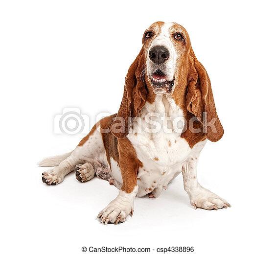 Bassotto cane isolato femmina bianco cane da caccia for Bassotto cane
