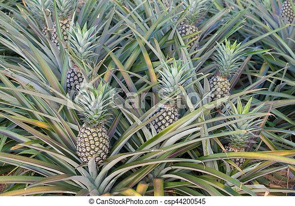 bauernhof tropische frucht ananas wachsen pflanze bauernhof tropische frucht ananas. Black Bedroom Furniture Sets. Home Design Ideas