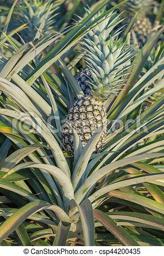 bauernhof tropische frucht ananas wachsen pflanze stockfotos suche fotografien. Black Bedroom Furniture Sets. Home Design Ideas