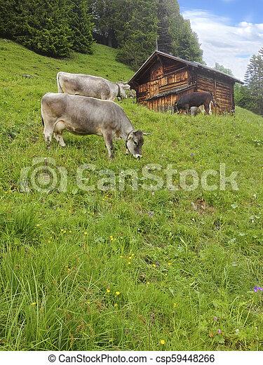 bauernhof, vorher, lauterbrunnen, weiden, ländlich, sommer, stehende , gras, kühe, hölzern, bereich, dorf, hütte, europa, schweiz, feld, murren, schweizerisch, berg, alps, hütte, wiese - csp59448266