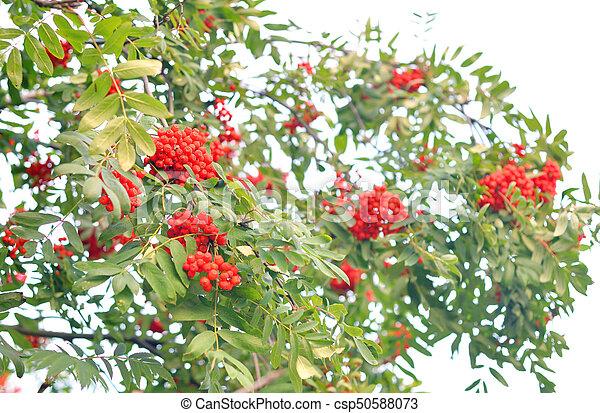 Ganz und zu Extrem Baum., rowan, rote beeren. August., baum, rowan, grün, beeren, rotes. @VT_65