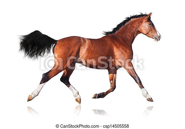 Bay horse isolated on white - csp14505558