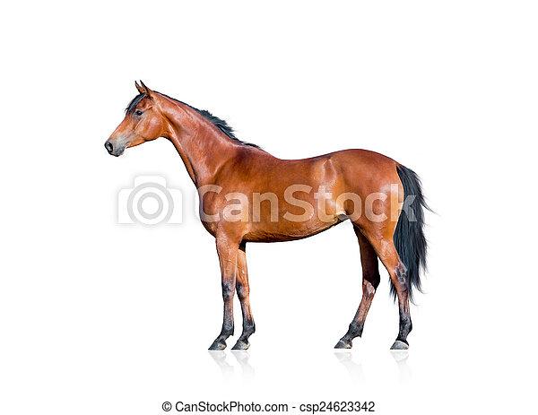 Bay horse isolated on white - csp24623342