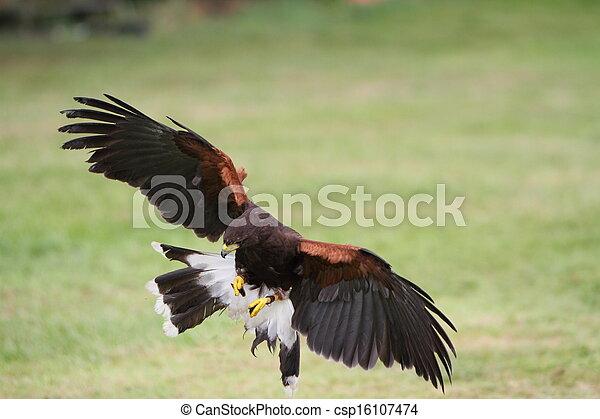 Bay winged hawk or Harris's Hawk - csp16107474