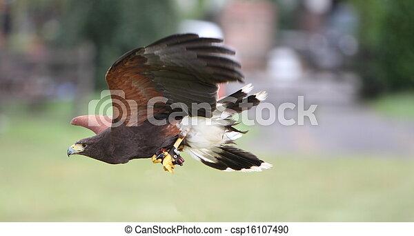 Bay winged hawk or Harris's Hawk - csp16107490