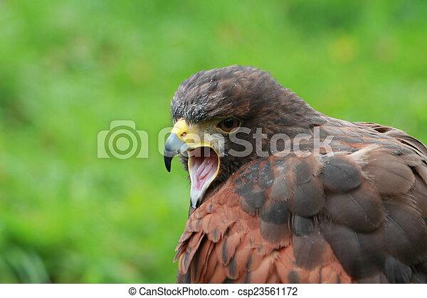 Bay winged Hawk - csp23561172