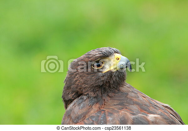 Bay winged Hawk - csp23561138