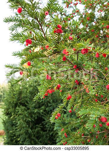bayas, árbol, maduro, tejo - csp33005895
