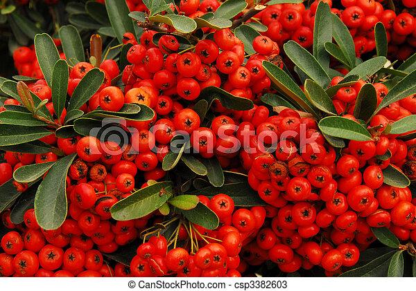 Cerezas rojas y Holly - csp3382603