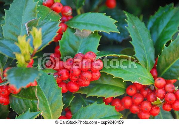 Holly y bayas rojas - csp9240459