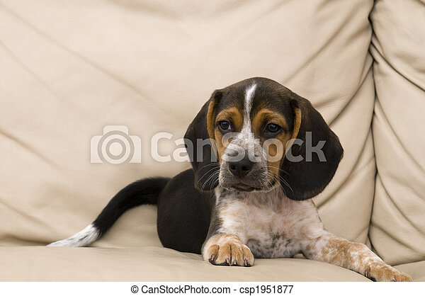 beagle, basierend - csp1951877