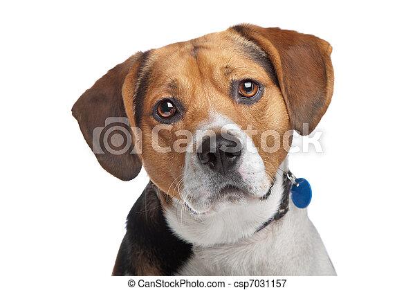 beagle - csp7031157