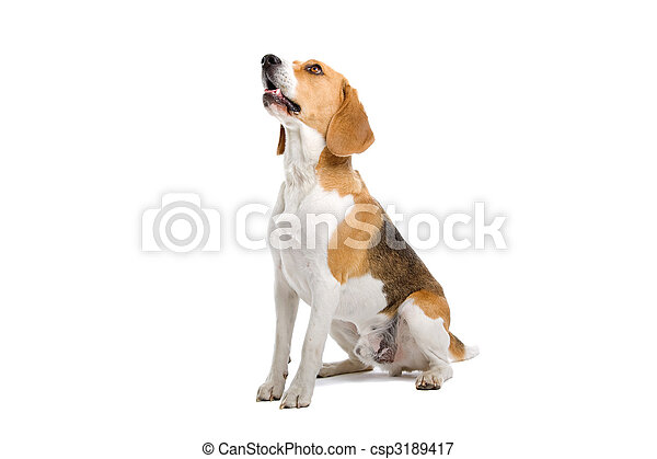 beagle chien assis s ance chien isol beagle fond image recherchez photos clipart. Black Bedroom Furniture Sets. Home Design Ideas