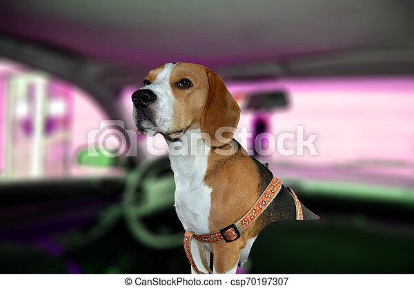 Beagle dog in a car - csp70197307
