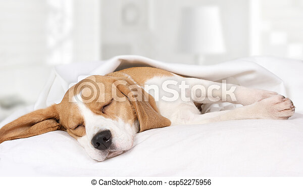 Beagle dog sleeping at home on the bed - csp52275956