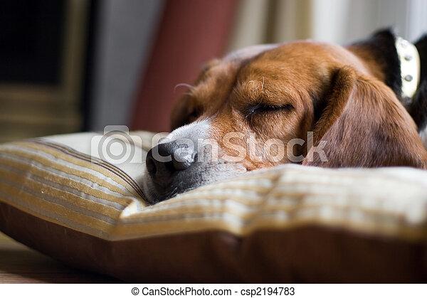 Beagle Dog Sleeping - csp2194783