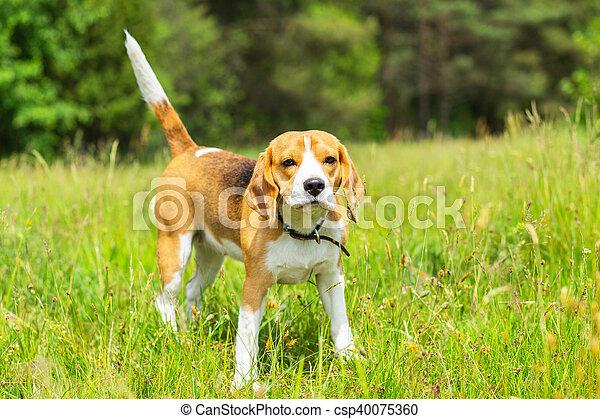 Beagle dog standing in grass - csp40075360