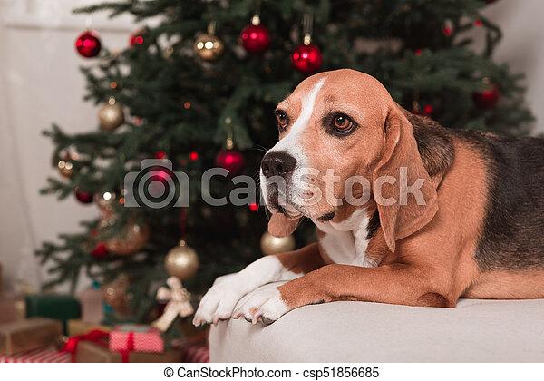 beagle dog with christmas tree csp51856685 - Christmas Beagle