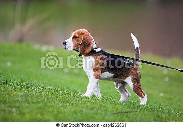 beagle, gras, grün - csp4263861