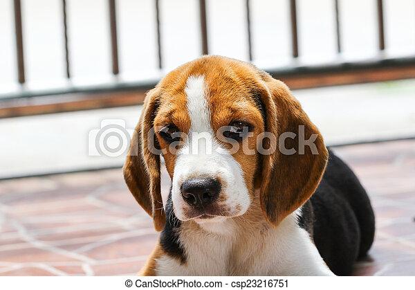 beagle, hund - csp23216751