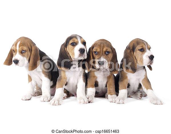 beagle, hundebabys - csp16651463