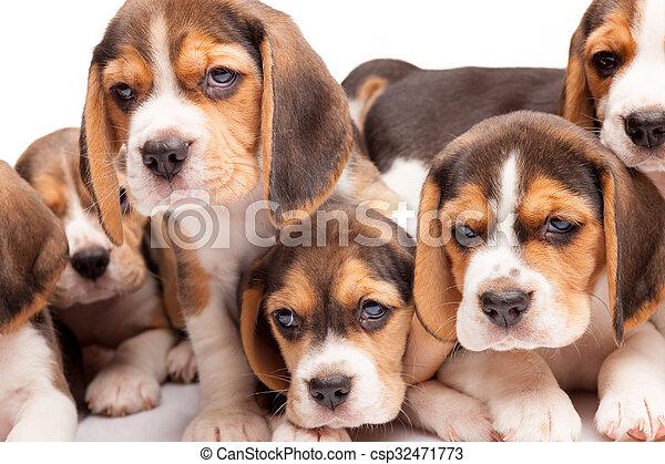 beagle, hundebabys, weißer hintergrund - csp32471773