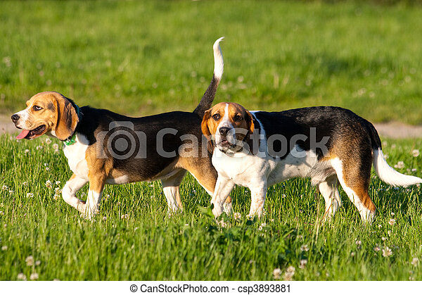 beagle, hunden - csp3893881
