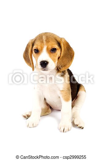 Beagle in front of white background - csp2999255