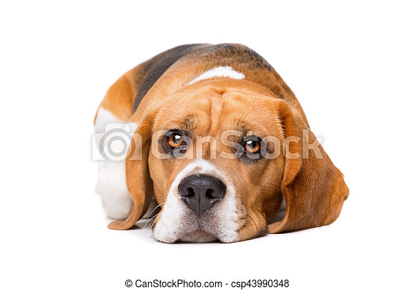 beagle in front of white background - csp43990348
