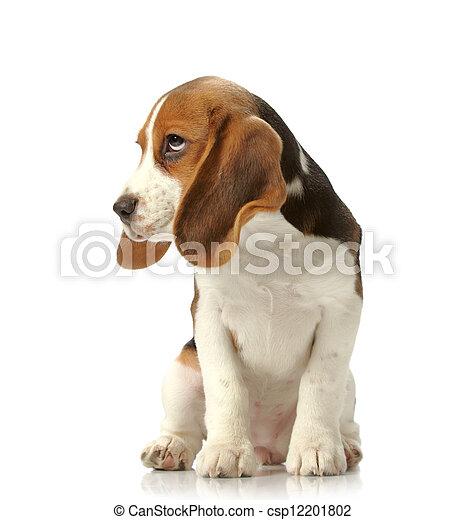 beagle, junger hund - csp12201802