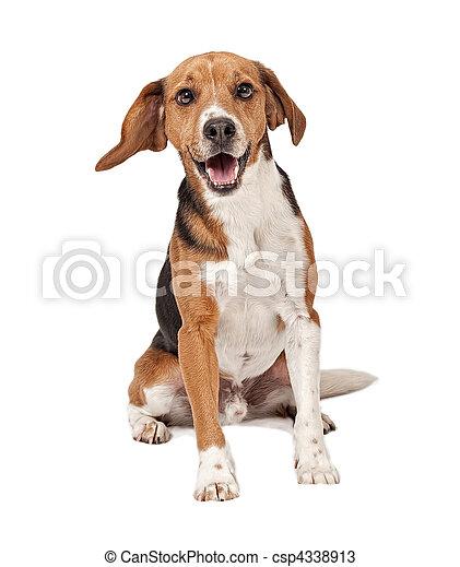 Beagle Mix Dog Isolated on White - csp4338913